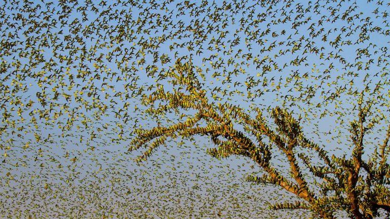 Bầy chim yến phụng