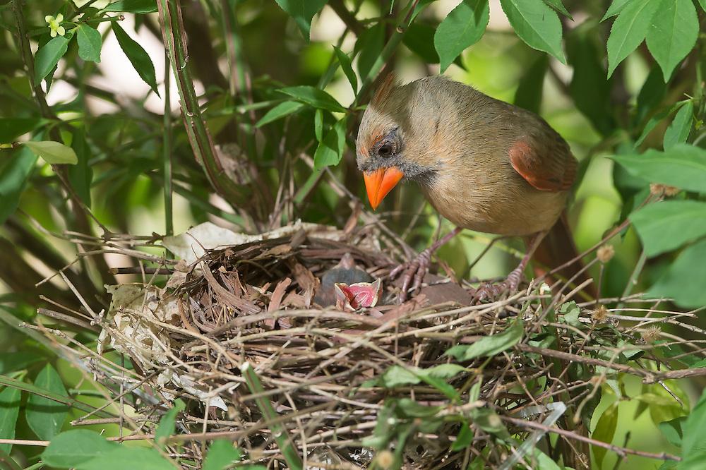 Tổ và chim non hồng y giáo chủ