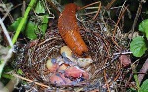 Sên đỏ hung tàn và những chú chim non mới nở
