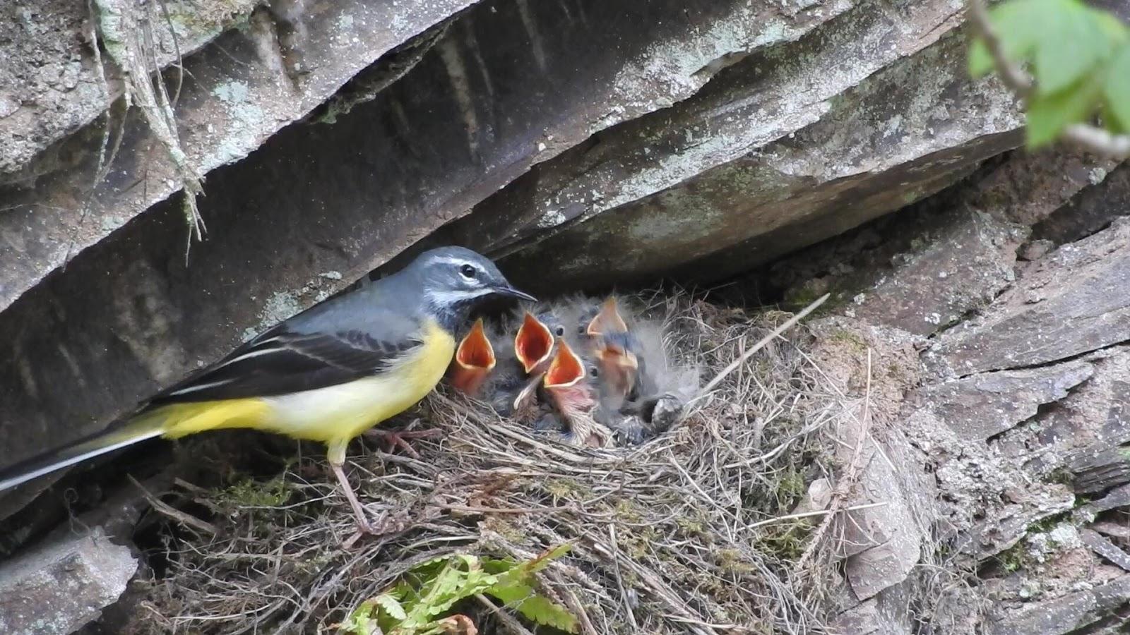 Tổ và chim non chìa vôi xám