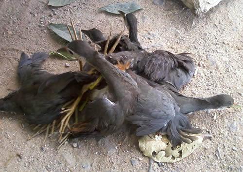 Chim cuốc ngực trắng bị săn bắt
