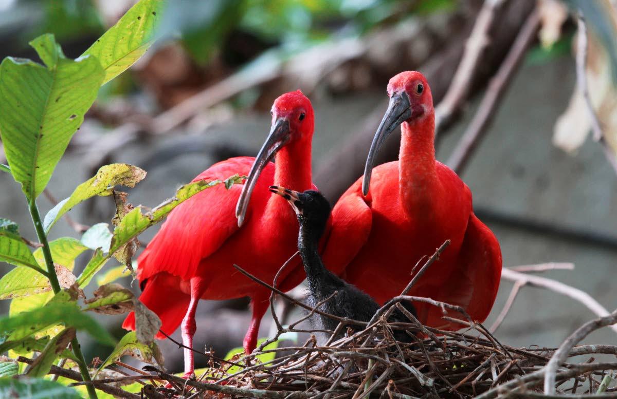 Tổ và chim non cò quăm đỏ