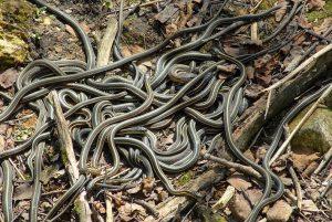 Rắn nịt tất thường & Bầy rắn khổng lồ
