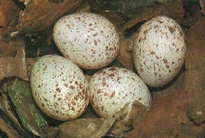 Trứng quạ mỏ đỏ