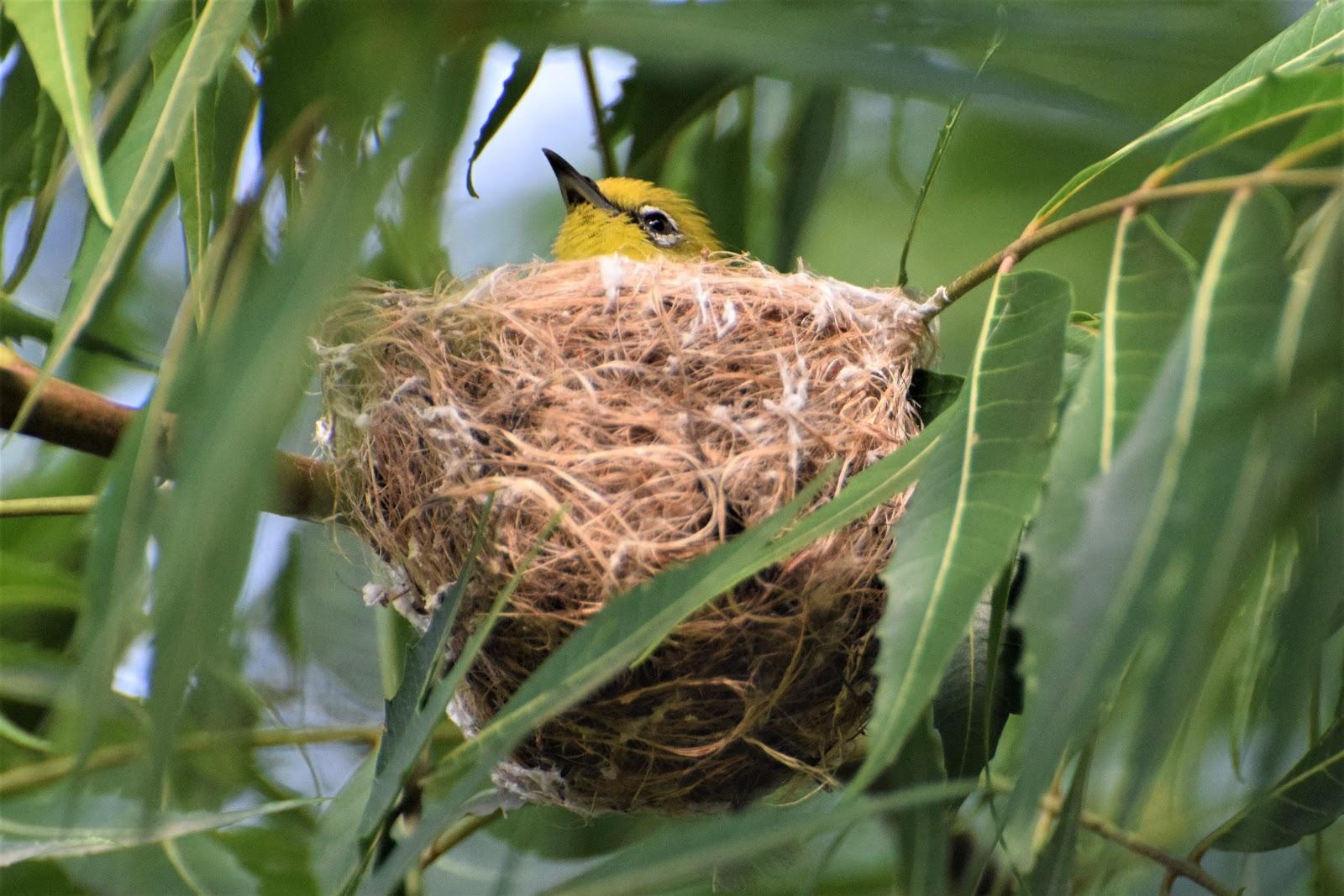 Tổ chim vành khuyên họng vàng