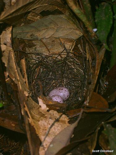 Tổ chim kiến đầu trắng / White-plumed antbird