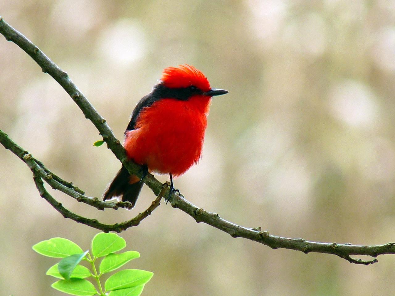 Chim đớp ruồi đỏ son