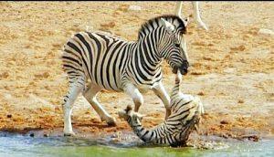 Ngựa Vằn & Hành Vi Giết Chết Con Non Vừa Mới Chào Đời
