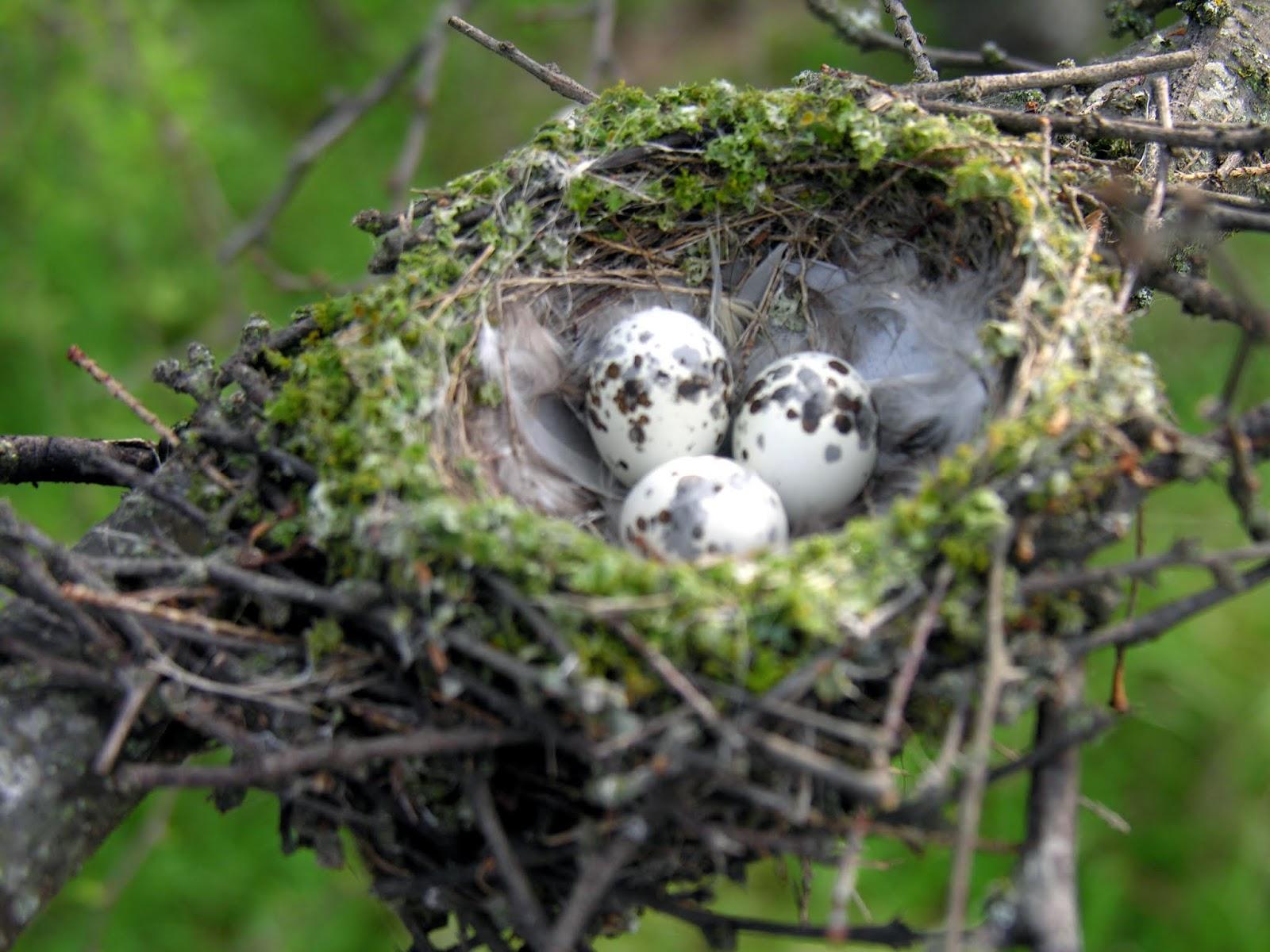 Tổ và trứng chim đớp ruồi đỏ son