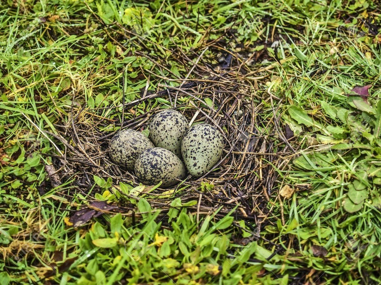 Tổ và trứng chim te mào nam Mỹ