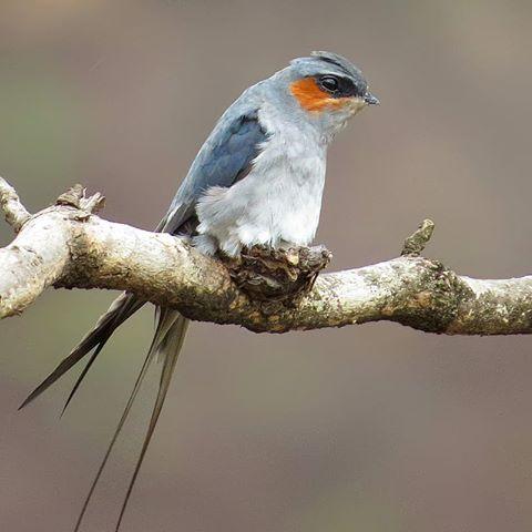 Chim yến mào làm tổ siêu nhỏ trên cành cây
