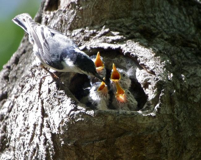 Tổ và chim non trèo cây ngực trắng