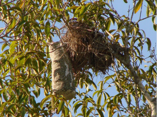 Tổ chim Yellow-rumped Cacique