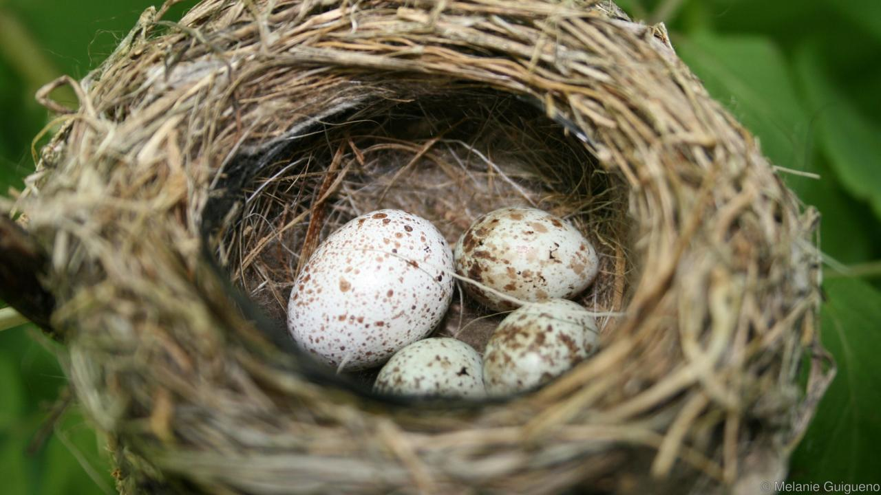 Trứng chim bắt cô trói cột