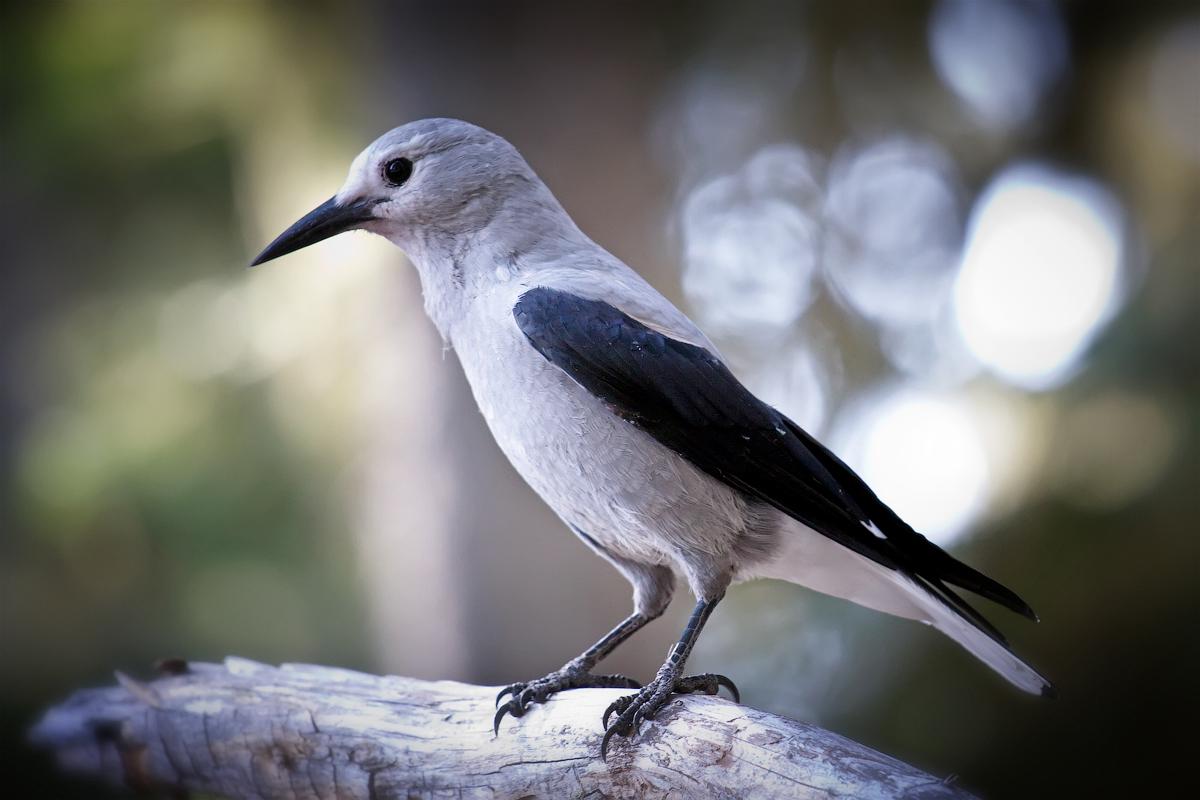Chim bổ hạt Clark