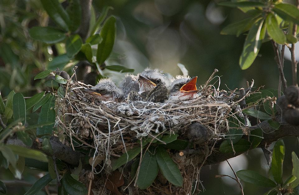 Tổ chim Đớp ruồi đuôi kéo