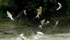 Cá mè trắng Hoa Nam Phóng Lên Mặt Nước Khi Hoảng Loạn