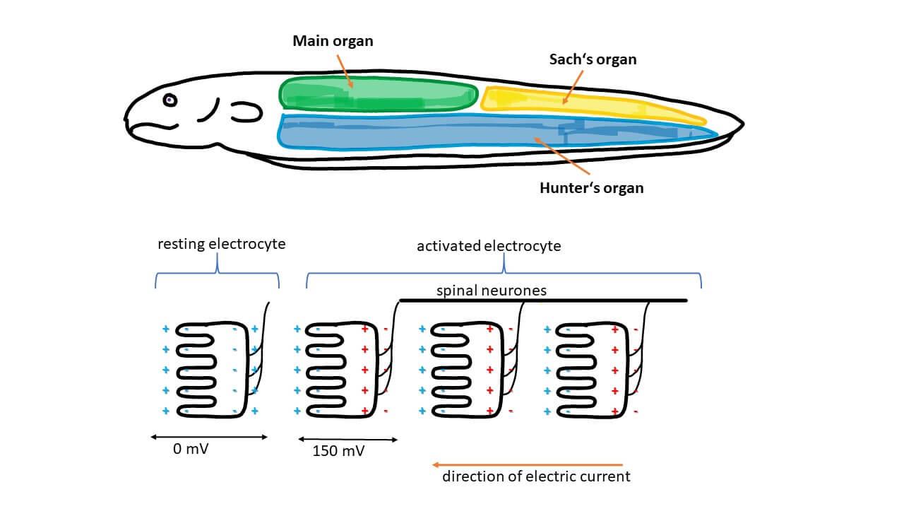 Cơ cấu tạo nguồn điện của lươn điện