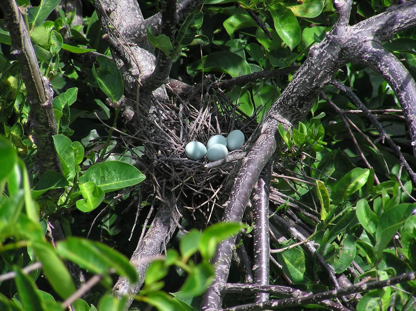 Trứng và tổ chim diệc xanh