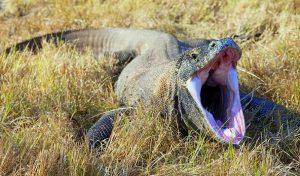 Rồng Komodo | Sát Thủ Săn Mồi Bằng Thứ Chất Độc Chứa Đến 50 Loài Vi Khuẩn