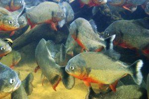 Cá Piranha Loài Thuỷ Quaí Sông Amazon