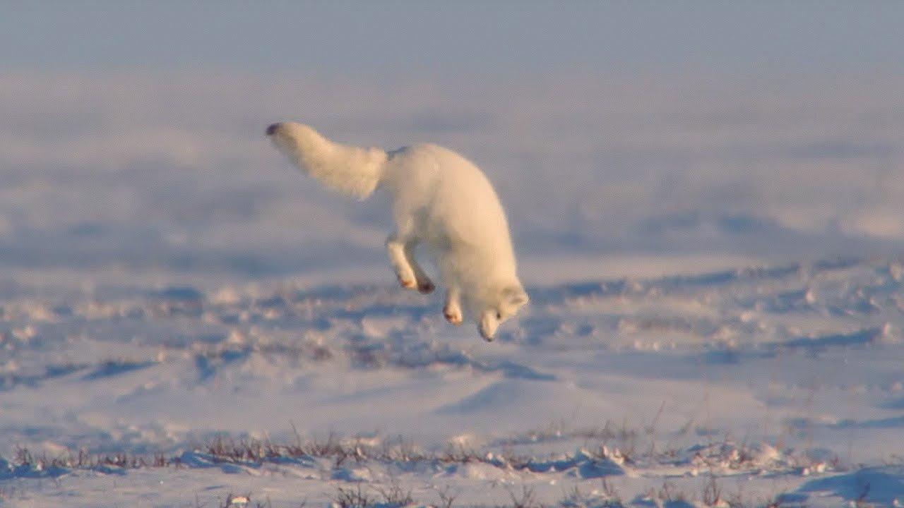 Cáo Bắc Cực