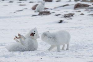 Cáo Bắc Cực & Sự Sống Nơi Thiên Nhiên Khắc Nghiệt Nhất Hành Tinh