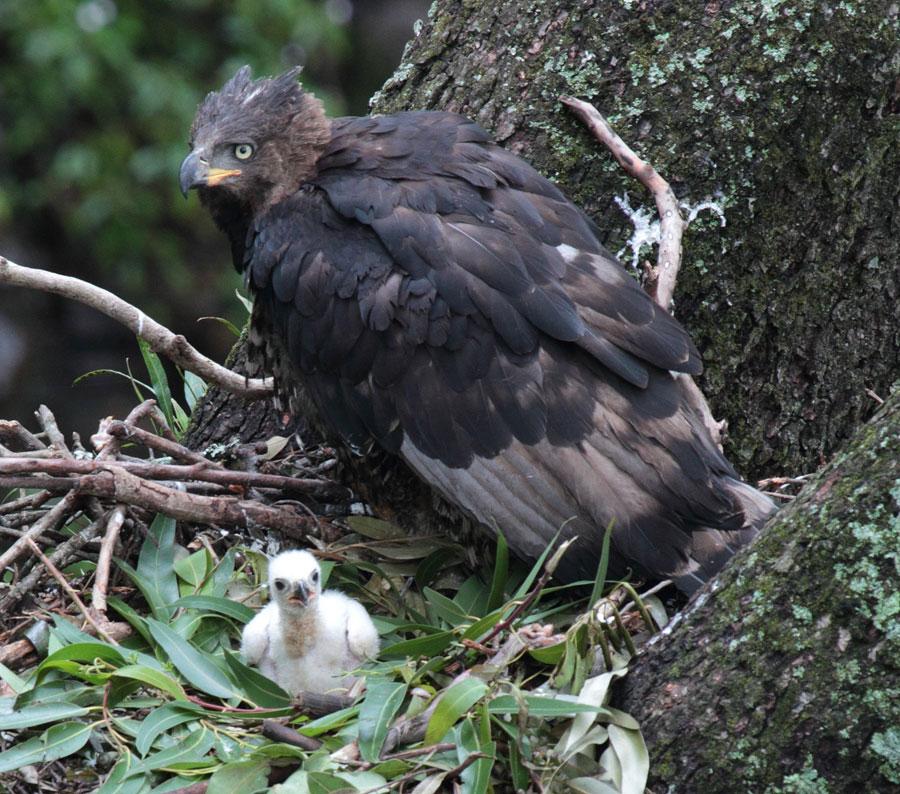 Tổ chim đại bàng rừng châu Phi