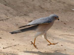 Ưng Xám [Shikra] Loài Chim Săn Mồi Nhỏ Bé Nhưng Rất Được Yêu Thích