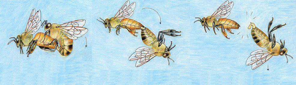 Cái chết của con ong đực
