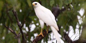Ưng Ngỗng Xám | Loài Chim Săn Mồi Với Bộ Lông Màu Trắng