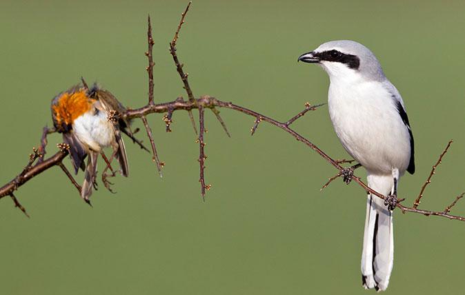 Chim bách thanh và con mồi