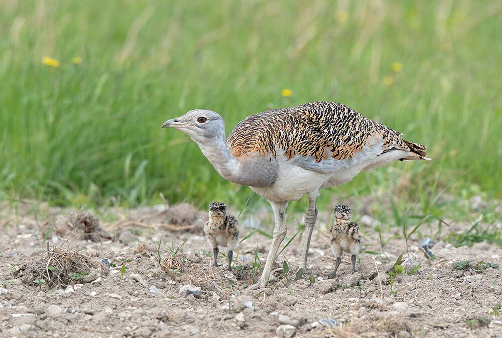 Chim ô tác lớn: Mẹ và con non