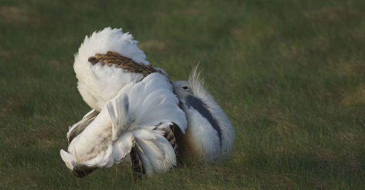 Chim ô tác lớn