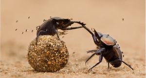 Bọ Hung loài côn trùng khoẻ nhất trái đất