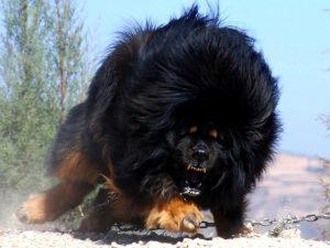 Chó Ngao Tây Tạng Thần Khuyển Dũng Mãnh Của Người Dân Du Mục