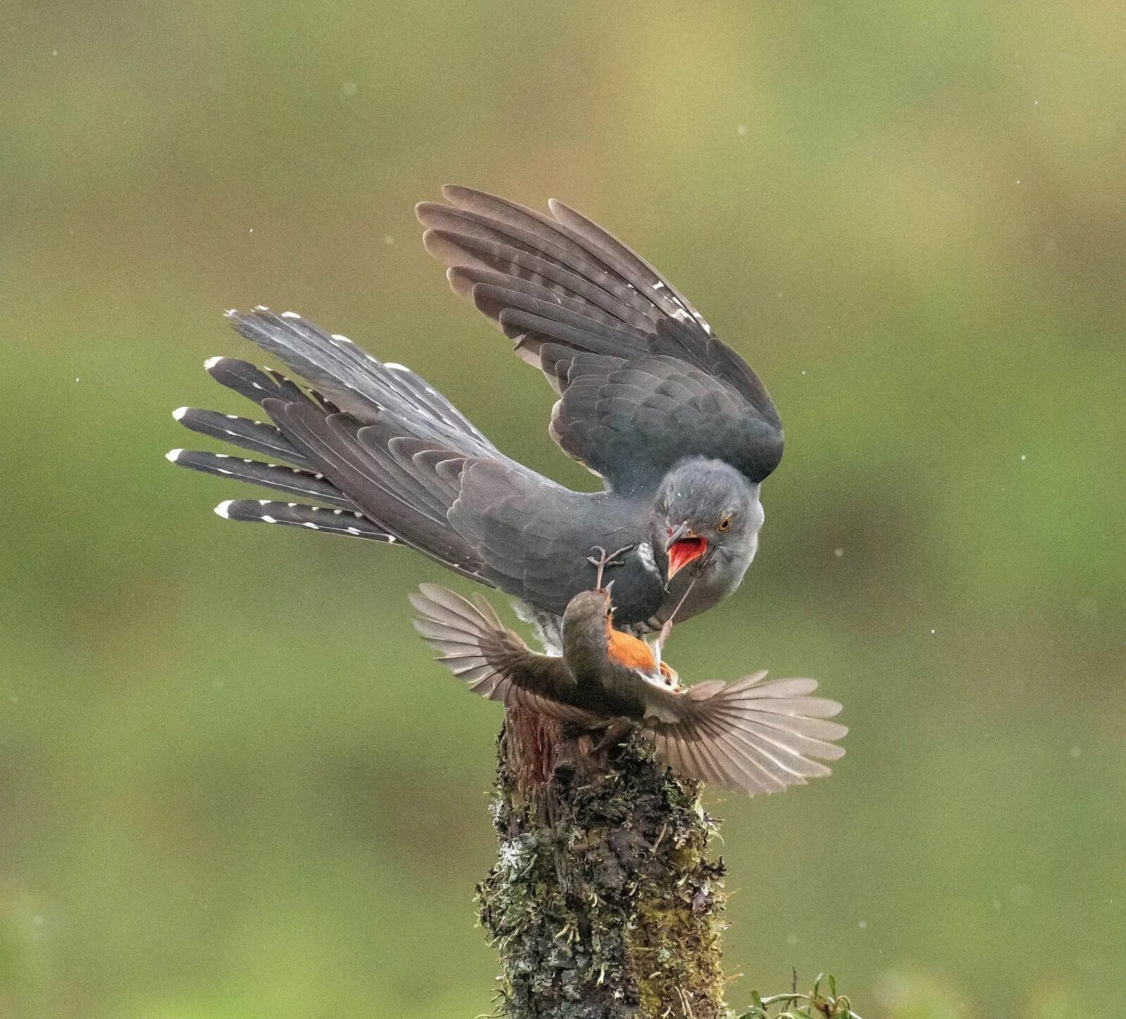 Chim hoét cổ đỏ đánh nhau với chim cu