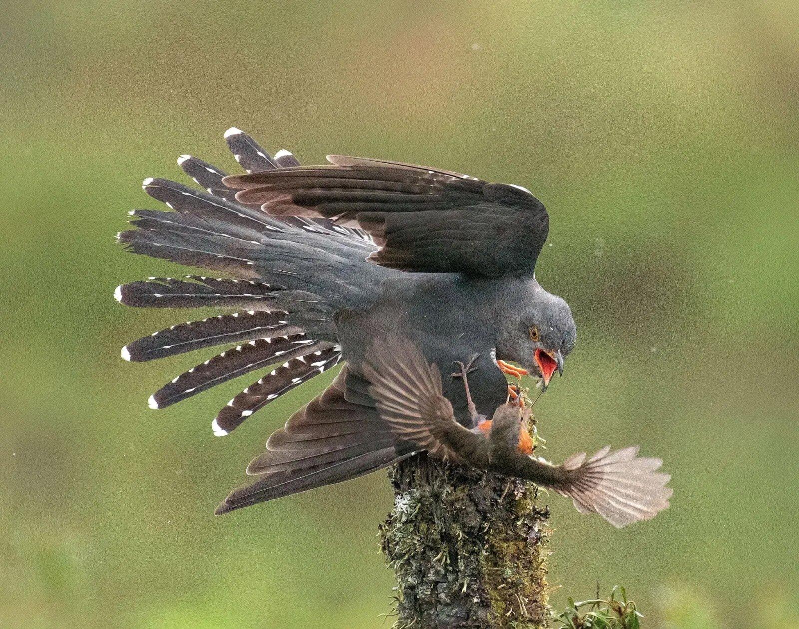 Chim hoét cổ đỏ quyết chiến kịch liệt với chim Cu gấp đôi kích thước để bảo vệ con non