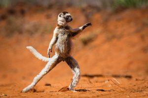 Vượn Cáo Sifakas Loài Linh Trưởng Có Thể Nhảy Xa Đến 10 Mét