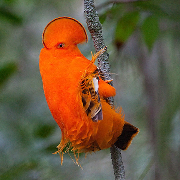Galo-da-serra Loài chim đẹp với bộ lông màu da cam