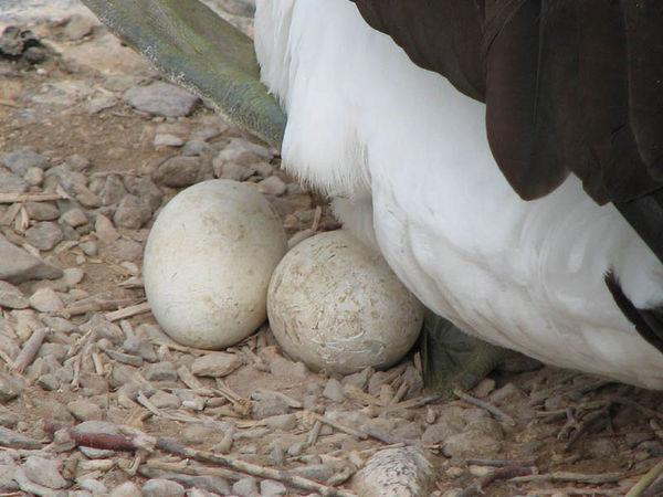Trứng chim điên mặt xanh