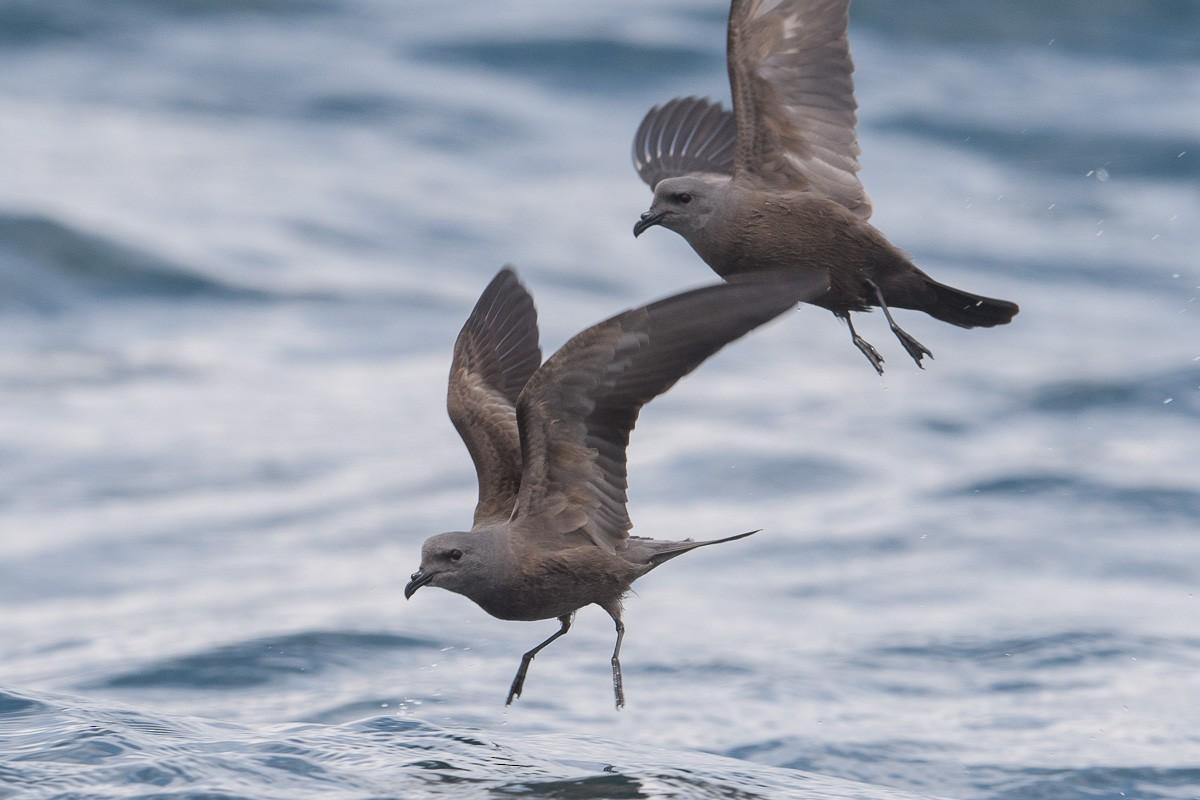 Hải yến đuôi chẻ đen trên biển