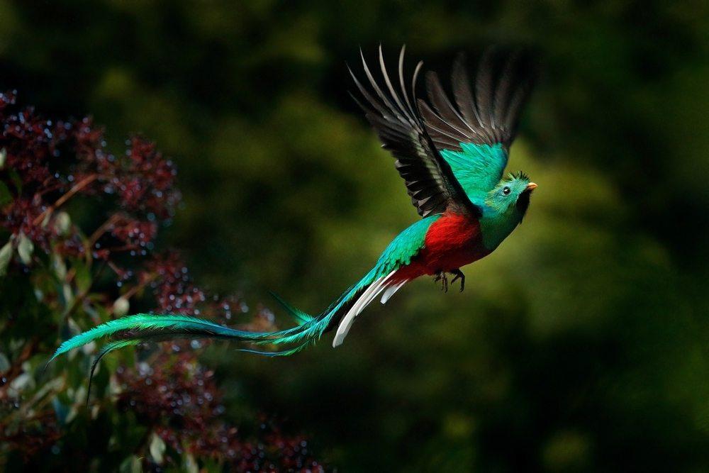Chim Quetzal sở hữu một cái đuôi rất dài