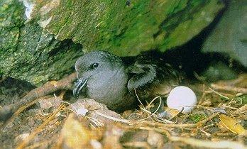 Tổ chim hải yến đuôi chẻ đen