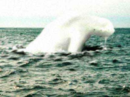 Tuy nhiên dù sao, Ningen cũng có thể là một con cá voi bạch tạng