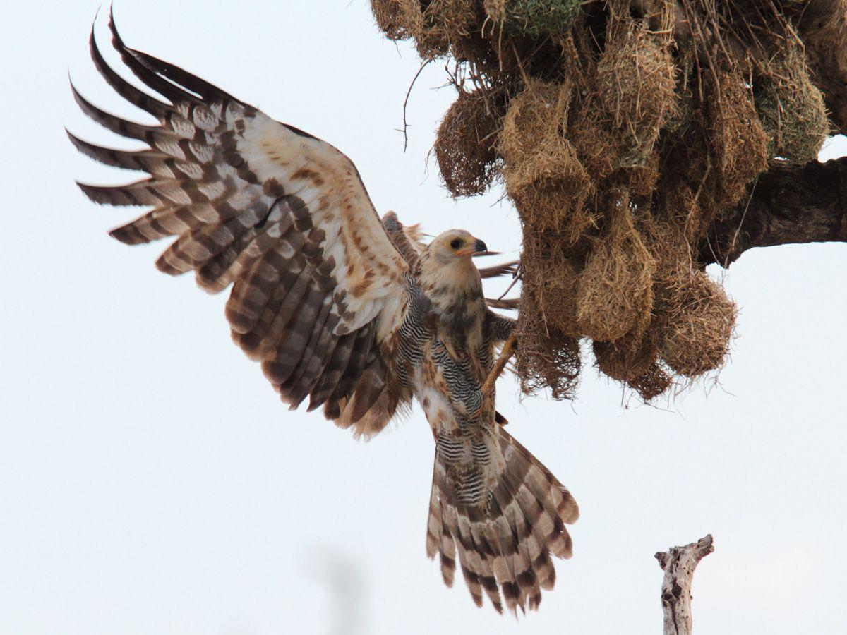 Ưng Diều Hâu Châu Phi tấn công một tổ chim rồng rộc