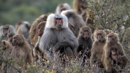Gia đình khỉ đầu chó
