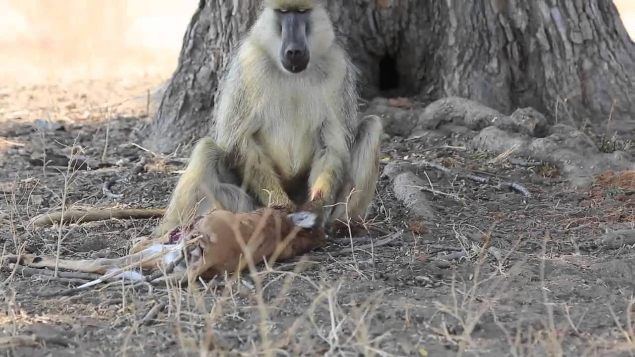 Khỉ đầu chó và con mồi