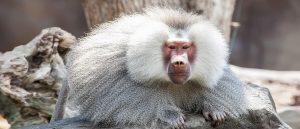 Khỉ Đầu Chó Loài Linh Trưởng Thông Minh