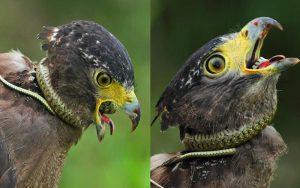 Diều hoa Miến Điện | Loài Chim Săn Mồi Chuyên Săn Bắt Rắn